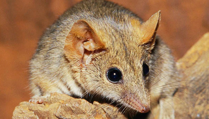 Antechinus the Sex-Crazed Marsupial