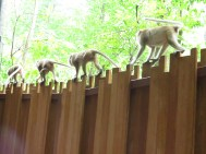 There were soooo many monkeys walking along the fence line to get to another side of Railey Beach. A bit scary actually
