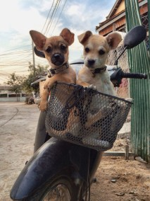 The construction puppies in a basket. (photo courtesy of Taeko)