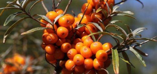 Catina-Calitatile-si-efectele-miraculoase-ale-plantei-salbatice