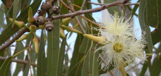 Uleiul-de-eucalipt-Beneficiile-plantei-vesnic-verde