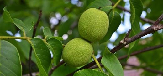 Remediile-naturiste-ale-frunzelor-de-nuc