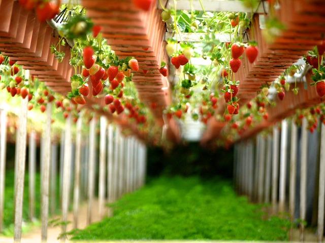 idei-de-cultivare-capsuni