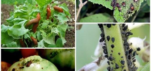 Solutii-bio-pentru-gradina-ta-prevenirea-si-combaterea-bolilor-si-daunatorilor