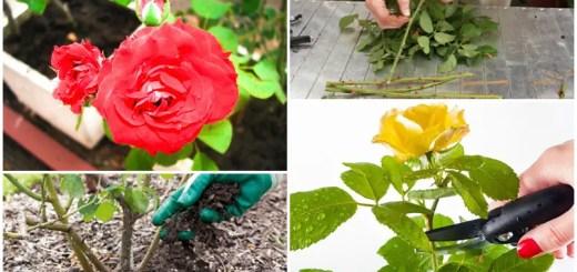 Plantarea şi îngrijirea trandafirilor de grădină