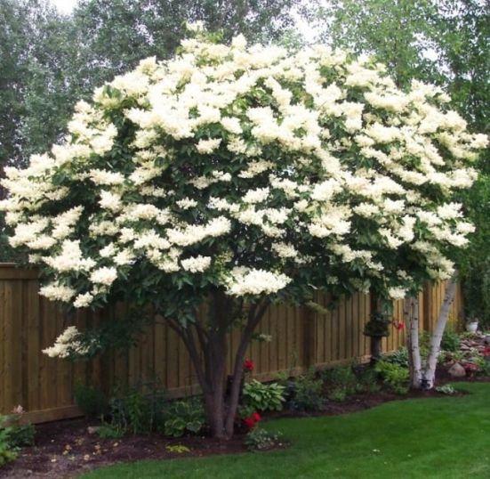 plantare liliac alb