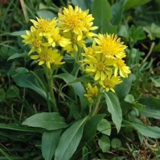 Splinuta - planta medicinala a primaverii care stimuleaza intreg metabolismul