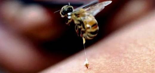 Apitoxinoterapia. Actiunile si indicatiile terapeutice ale tratamentului cu venin de albine