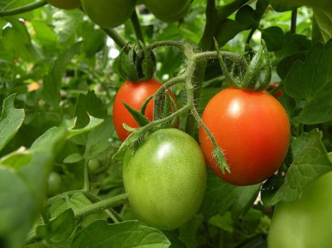 Rosii bio. O investitie romaneasca 100%