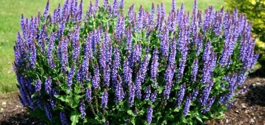 """Salvia. Planta care te """"salveaza"""" de numeroase afectiuni"""