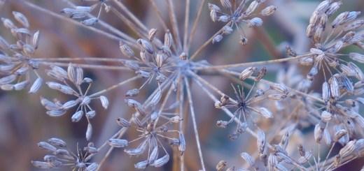 beneficii seminte de marar