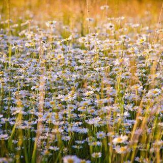 cultivarea-musetelului-in-gradina