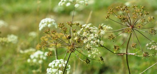 anason-planta
