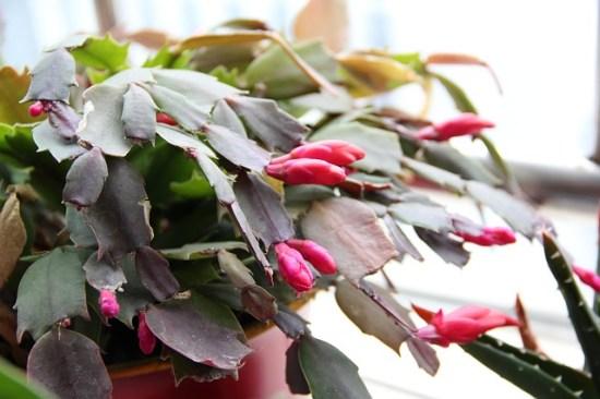 floare cactus de craciun