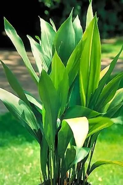 floare planta de fier
