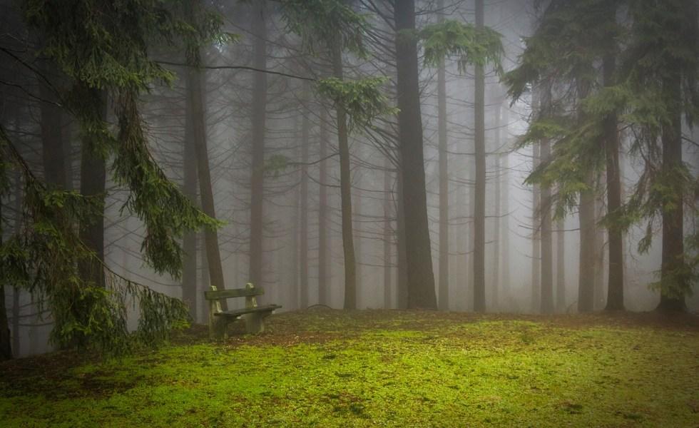 Pinul. Cum poti beneficia de toate calitatile terapeutice ale acestui copac-miracol