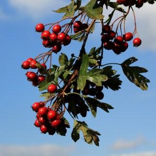 Extractul din fructe de paducel, cel mai bun medicament pentru o inima sanatoasa