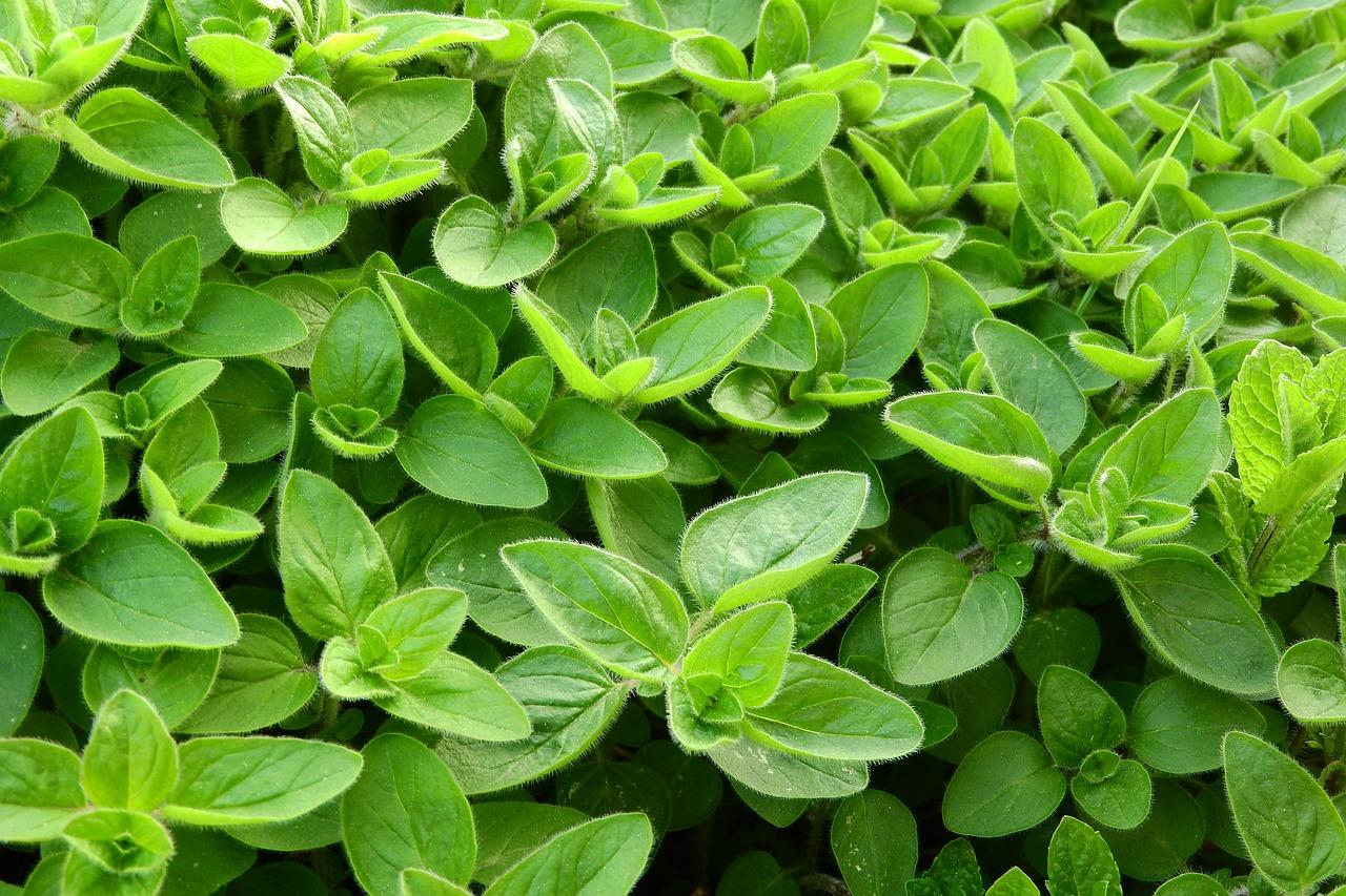 Maghiranul. Imunitate instant cu o planta populara