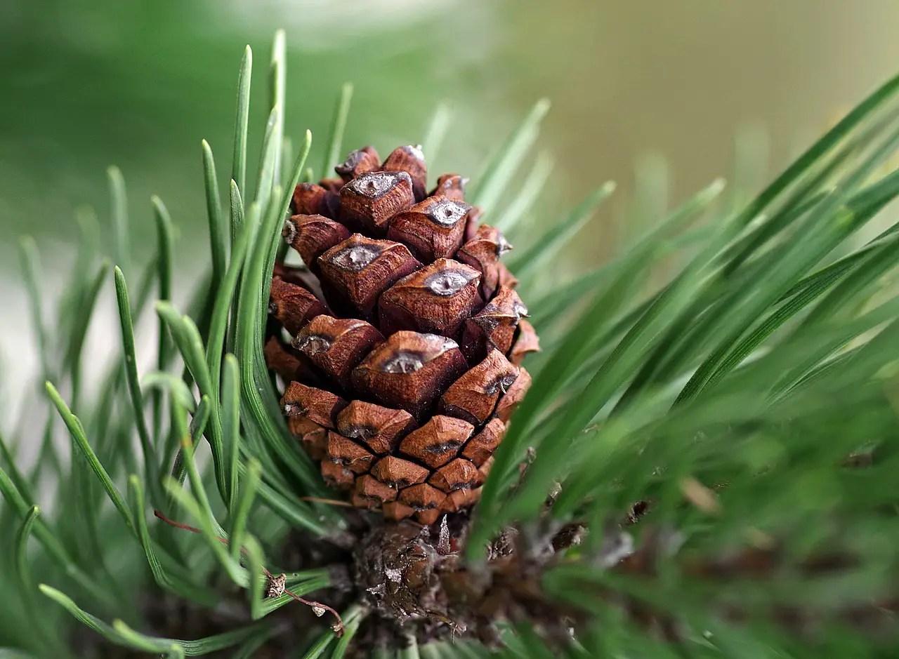 10 utilizari si beneficii ale uleiului de pin