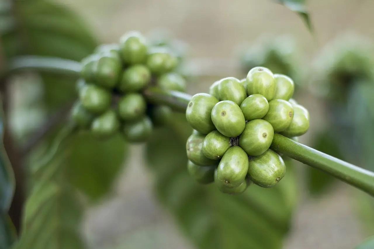 Cafeaua verde – cum se prepara si care sunt beneficiile