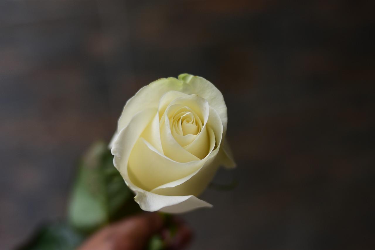 Ce simbolizeaza trandafirul alb. Cui il oferi si in ce ocazii