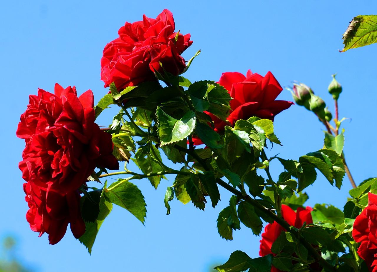 Trandafirul, indicatii terapeutice si ingrijire