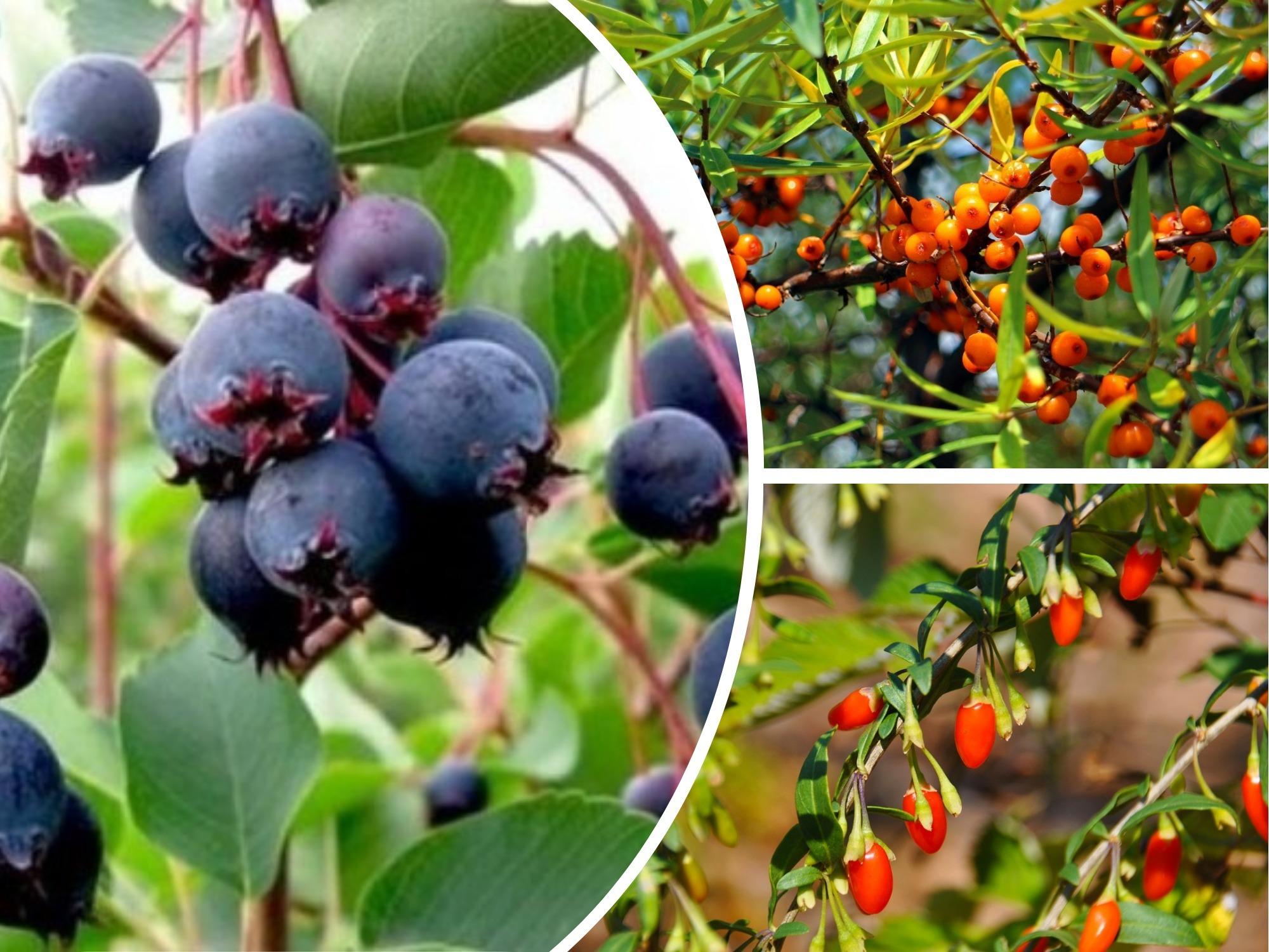 Afaceri profitabile in agricultura. Iata 3 arbusti care va pot imbogati: Catina, Afinul si Goji