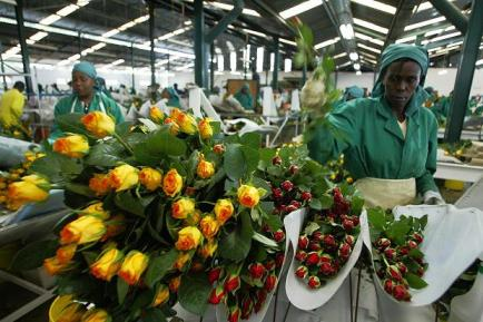 Karuturi Global factory workers process roses Africa by Simon Maina, AFP