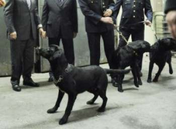 An annual report at Wheatfield Prison in Dublin, Ireland, finds an unacceptably high rate of false positive signals given by these dogs when they sniff visitors for drugs. So will they terminate the drug-sniffing? No, they'll retrain the dogs. – Photo: Sasko Lazarov, Photocall Ireland
