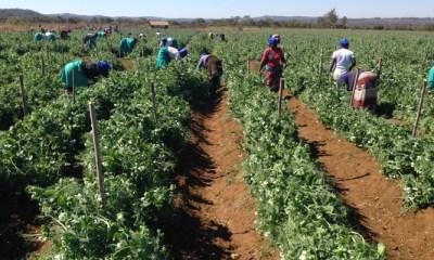 Edwin Masimba Moyo grows snow peas near Marondera, Zimbabwe. Mugabe's government launched land reforms 15 years ago. – Photo: Newsday