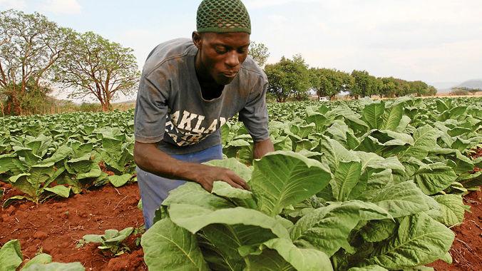 https://i1.wp.com/sfbayview.com/wp-content/uploads/2016/02/Rutendo-Macheso-young-tobacco-farmer-near-Shamva-Zimbabwe-by-Aaron-Ufumeli-Mail-Guardian.jpg