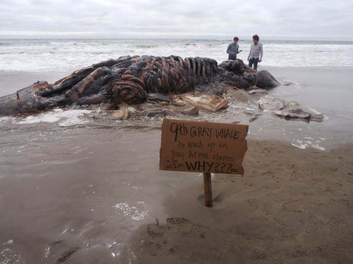 Ninth-recent-Bay-Area-whale-death-Ocean-Beach-SF-0519-by-Jahahara, Bring our courageous elders home, now!, Culture Currents
