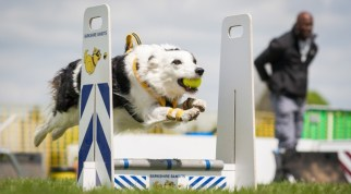 Собака прыгает барьер на соревнованиях по флайболу
