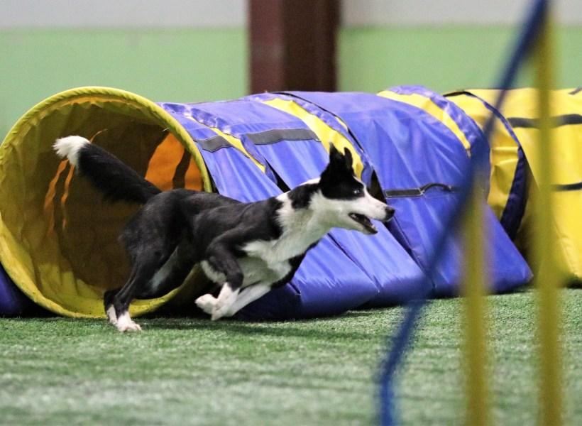Собака породы бордер-колли выбегает из тоннеля