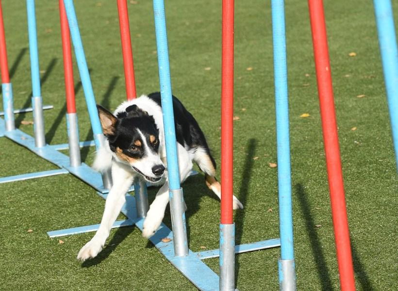 Собака породы бордер-колли проходит слалом