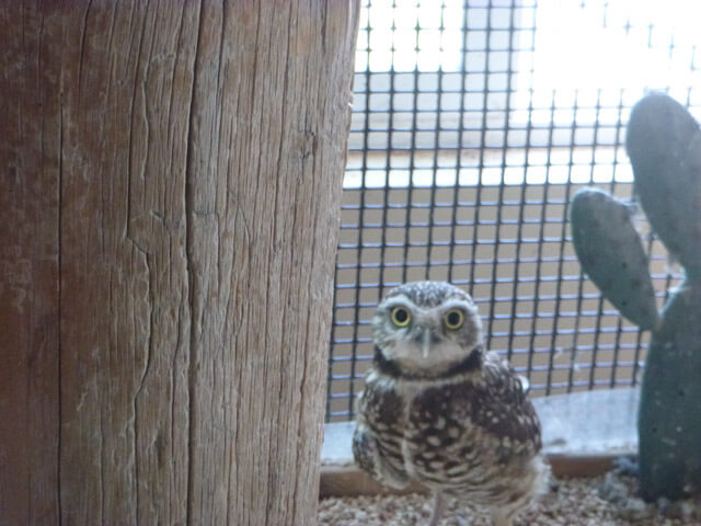 A curious burrowing owl saying hello.