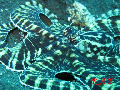 Mimic_octopus_2
