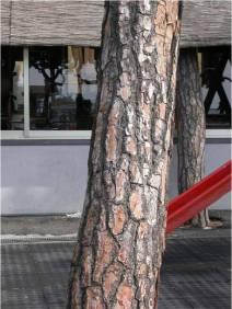 Corteccia di Pinus pinea
