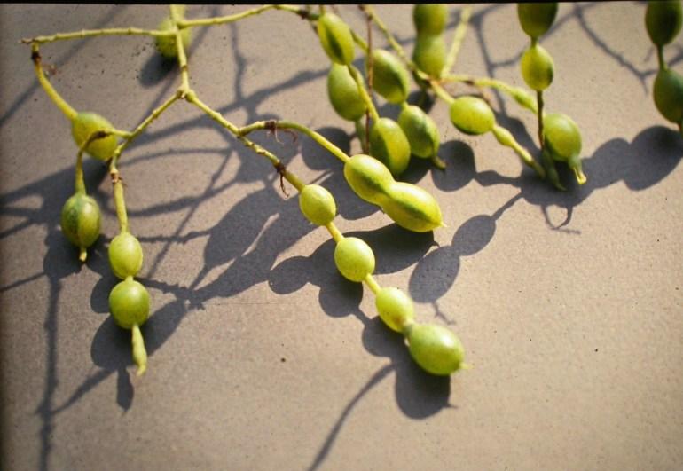 Frutti di Sophora japonica