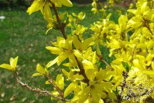 La Forsizia fiorisce su rami vecchi di un anno