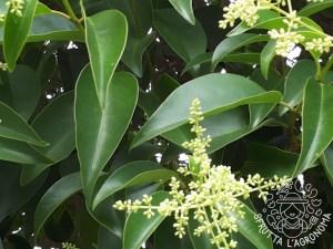 Foglie e fiori di Ligustrum lucidum
