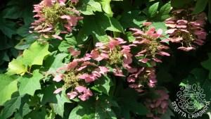I fiori diventano rosati prima di seccare su Hydrangea quercifolia