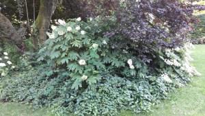 Arbusto di Hydrangea quercifolia