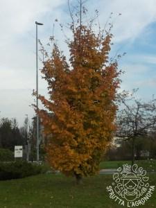 Parrotia persica in autunno