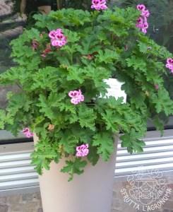 """Pelargonium birdbush """"Bobby"""""""