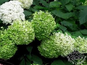 I fiori bianchi di Hydrangea arborescens diventano verdi prima di seccare