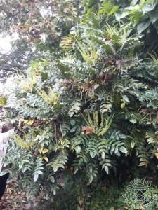 Arbusto di Mahonia fiorito