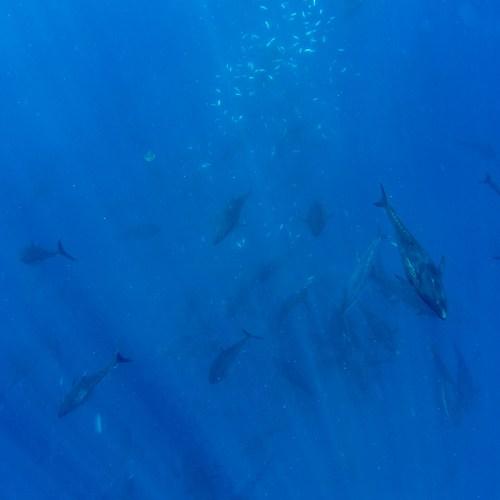 Swimming with Tuna