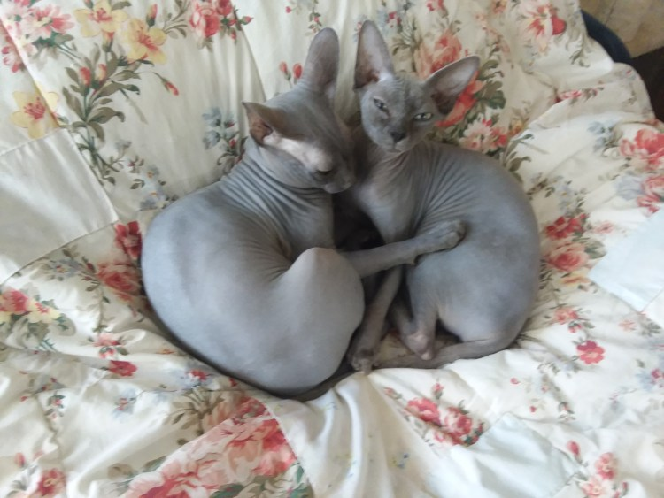 SGG SPHYNX CATTERY-Wally & G (Parents)
