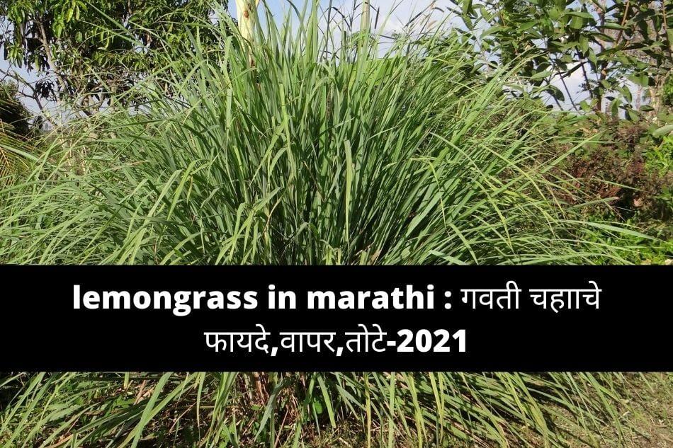 lemongrass in marathi